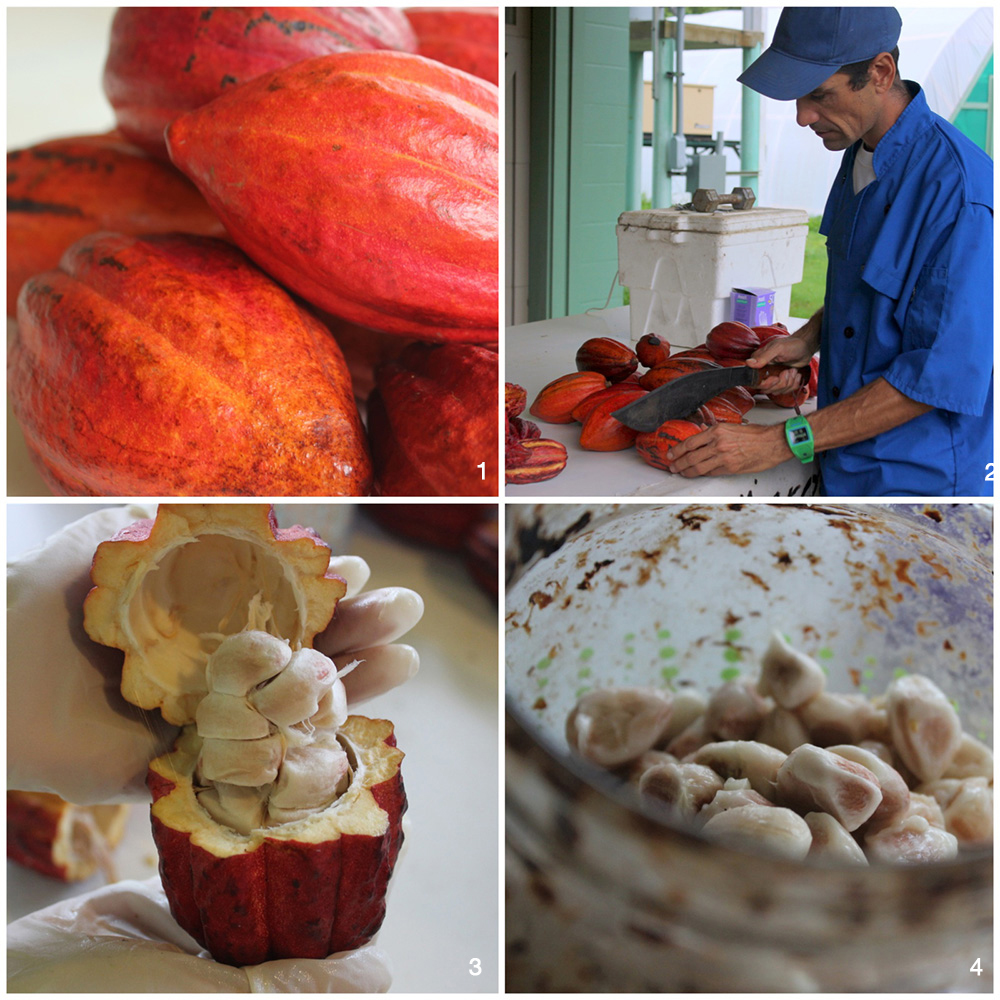 1. Cacao pods 2. Koa expertly splitting a cacao pod. 3. The inside of a cacao pod showing a cluster of beans. 4. The beginning of the fermentation process.