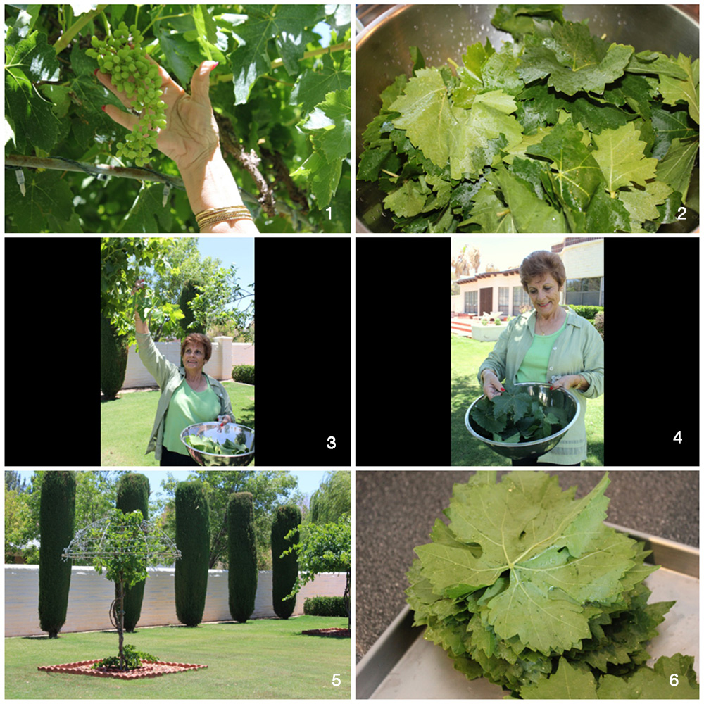 1. My grandmother's grape vines, planted and grown with love. 2. Grape leaves fresh off the vine. 3. Aunt Jeanette picking grape leaves from the garden. 4. Aunt Jeanette ready to show us how to roll grape leaves. 5. Shaped vines require careful pruning, maintenance and care. 6. Washed grape leaves ready to stuff