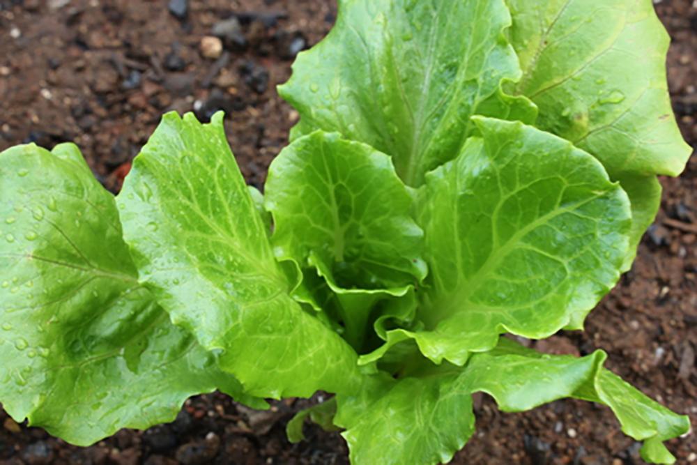 Lettuce single JPG
