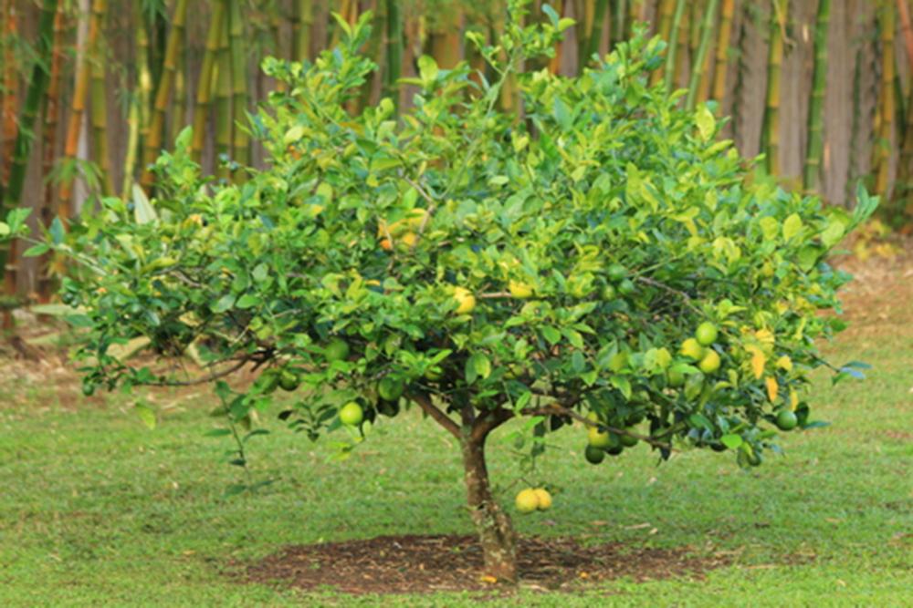 Meyer lemon ice cream soffia wardy for Lemon plant images
